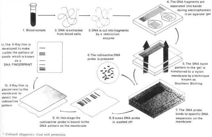 Solving crimes with genetic fingerprinting cqr a new method of dna typing ccuart Images
